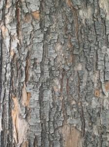 Poplar Bark